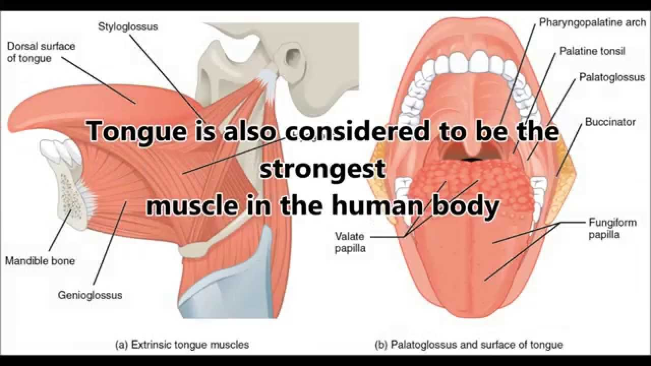 interesting-facts-you-need-to-know-about-muscular-system